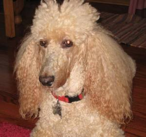 June 11, 2011 Unbrushed Poodle Chloe